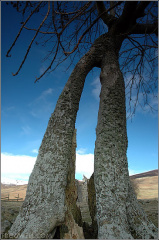 Split tree at the foot of Carn Chois, near Comrie