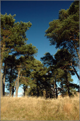 A congregation of Scots pine, Sheriffmuir