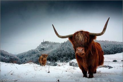 A pair of highland cows with Melville monument in the background.