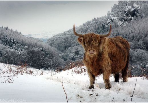 Highland cow above Glen Lednock.