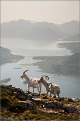 Mountain goats with Loch Leven in the background